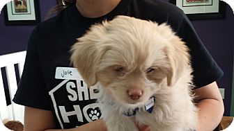 Shih Tzu/Poodle (Miniature) Mix Puppy for adoption in Thousand Oaks, California - Luke