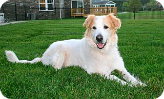 Great Pyrenees/Collie Mix Dog for adoption in Indianapolis, Indiana - Brulee
