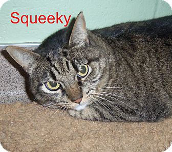 Domestic Shorthair Cat for adoption in Slidell, Louisiana - Squeeky