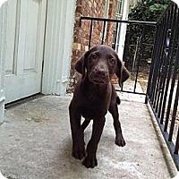 Adopt A Pet :: Indy - Cumming, GA