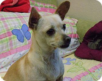 Chihuahua Mix Dog for adoption in Tumwater, Washington - Pomona