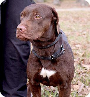 Labrador Retriever Mix Dog for adoption in Vancouver, British Columbia - Fiona