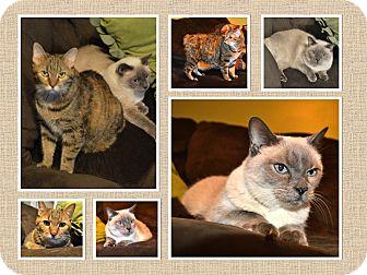 Siamese Cat for adoption in Marietta, Georgia - Stephanie and Michele