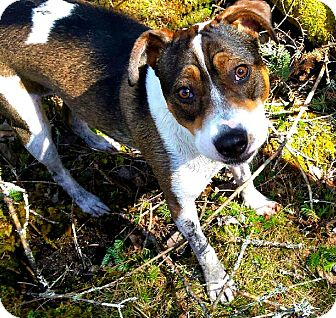 Beagle/Jack Russell Terrier Mix Dog for adoption in Freeport, Maine - Sasha (In Foster)