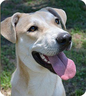 Labrador Retriever Mix Dog for adoption in Mountain Center, California - Pluto