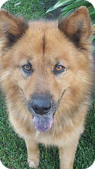 Australian Shepherd/German Shepherd Dog Mix Dog for adoption in Santa Ana, California - Opie (YW)
