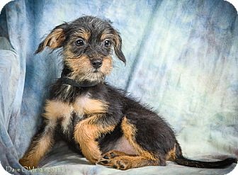 Terrier (Unknown Type, Small) Mix Puppy for adoption in Anna, Illinois - EMILY