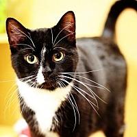 Domestic Shorthair Cat for adoption in Trenton, New Jersey - Donatelo (KC)