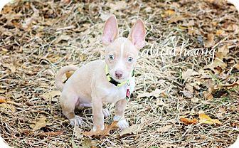Basenji/Chihuahua Mix Puppy for adoption in Arlington, Texas - Carmelo
