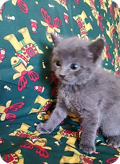 Domestic Shorthair Kitten for adoption in Oxford, Connecticut - Picasso
