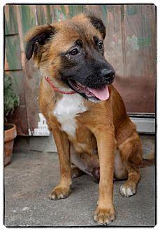 Shepherd (Unknown Type)/Retriever (Unknown Type) Mix Dog for adoption in Freeport, New York - Kenzie