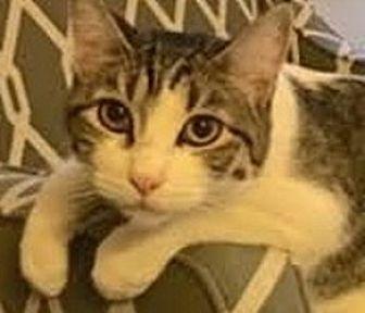 Domestic Shorthair Cat for adoption in LaJolla, California - Turbo