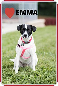 Labrador Retriever/Border Collie Mix Dog for adoption in Elgin, Illinois - Emma