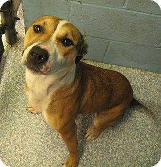 Pit Bull Terrier/Terrier (Unknown Type, Medium) Mix Dog for adoption in Stillwater, Oklahoma - Amora