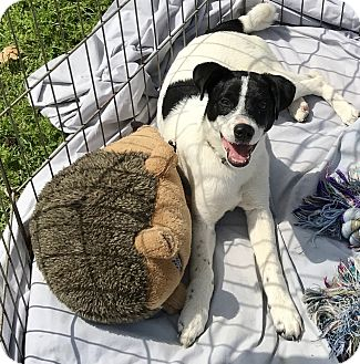Australian Cattle Dog/Labrador Retriever Mix Puppy for adoption in Mandeville Canyon, California - Lily