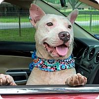 Adopt A Pet :: A - JAGGER - Stamford, CT