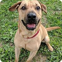 Adopt A Pet :: Ox - Lisbon, OH