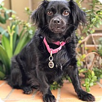 Adopt A Pet :: Sadie Lady - santa monica, CA