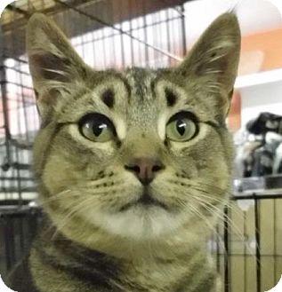 Domestic Shorthair Cat for adoption in Alturas, California - Ziva