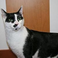Domestic Shorthair Cat for adoption in Philadelphia, Pennsylvania - Nipper Kitty