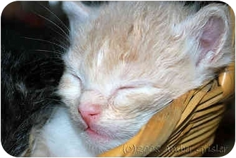Domestic Shorthair Kitten for adoption in Aldie, Virginia - Nolan