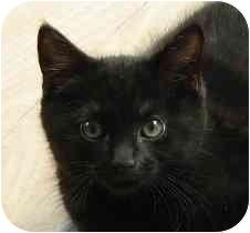 Burmese Kitten for adoption in Lexington, Missouri - Waylon