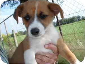 Corgi Mix Puppy for adoption in Lonedell, Missouri - Venice 4
