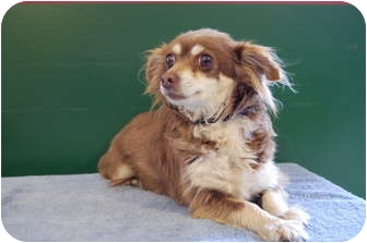 Chihuahua Mix Dog for adoption in North Judson, Indiana - Chiclet