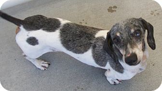 Dachshund Mix Dog for adoption in Grants Pass, Oregon - Ollie
