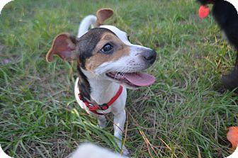 Jack Russell Terrier/Rat Terrier Mix Puppy for adoption in Weeki Wachee, Florida - Katie