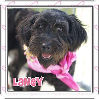 Schnauzer (Standard)/Poodle (Miniature) Mix Dog for adoption in Corpus Christi, Texas - Laney