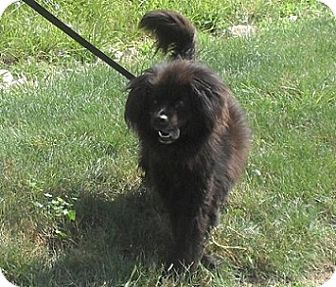 Chow Chow Mix Dog for adoption in Hamilton, Ontario - Bear