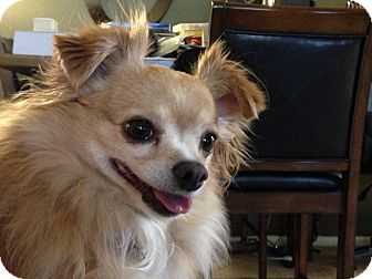 Chihuahua Dog for adoption in Fort Collins, Colorado - Skipper