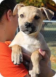 Boxer Mix Puppy for adoption in Astoria, New York - Patterson