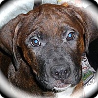 Adopt A Pet :: Simon - Burr Ridge, IL