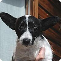 Adopt A Pet :: Squeakers - Denver, CO