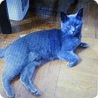 Adopt A Pet :: Blue - Whitestone, NY