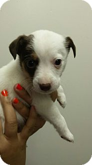 Rat Terrier Mix Puppy for adoption in Groton, Massachusetts - Revis