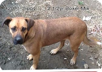 Boxer Mix Dog for adoption in Chapmanville, West Virginia - Tippy