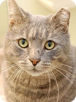 Domestic Shorthair Cat for adoption in Chattanooga, Tennessee - Joe