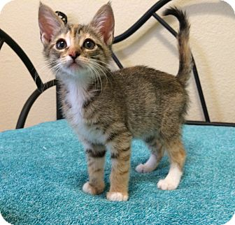 Domestic Shorthair Kitten for adoption in Plano, Texas - ELAINE - SWEET COMEDIENNE