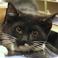 Adopt A Pet :: Cats Domino - Sacramento, CA