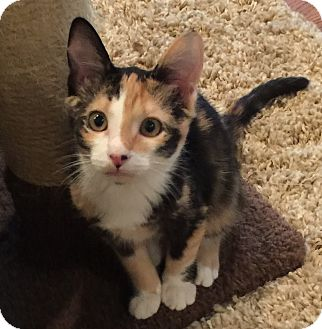 American Shorthair Kitten for adoption in Birmingham, Alabama - Freckles