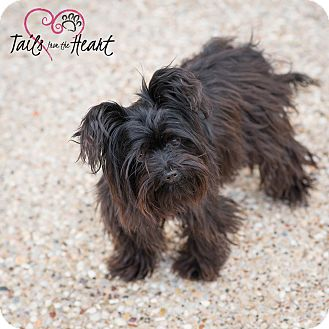 Yorkie, Yorkshire Terrier Mix Puppy for adoption in Plano, Texas - Piper