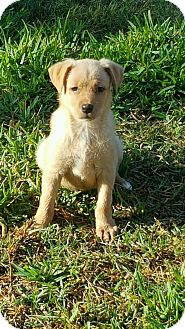 Shiba Inu/Labrador Retriever Mix Puppy for adoption in Westerly, Rhode Island - Bristol
