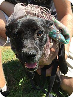 Dachshund/Pug Mix Puppy for adoption in Santee, California - Ladybug