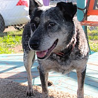 Blue Heeler Mix Dog for adoption in Odessa, Texas - Blue