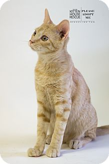 Domestic Shorthair Cat for adoption in Houston, Texas - BECKETT