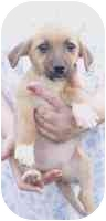 Beagle/Terrier (Unknown Type, Small) Mix Puppy for adoption in Salem, New Hampshire - FAITH