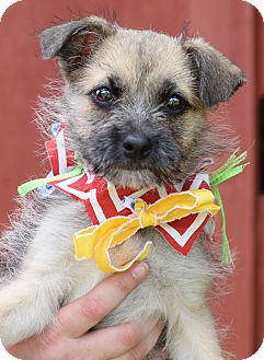 Border Terrier Mix Puppy for adoption in Denver, Colorado - Roux